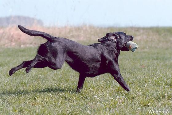 Labrador Retriever Kennel - Mitglied im DRC, JGHV, VDH + FCI